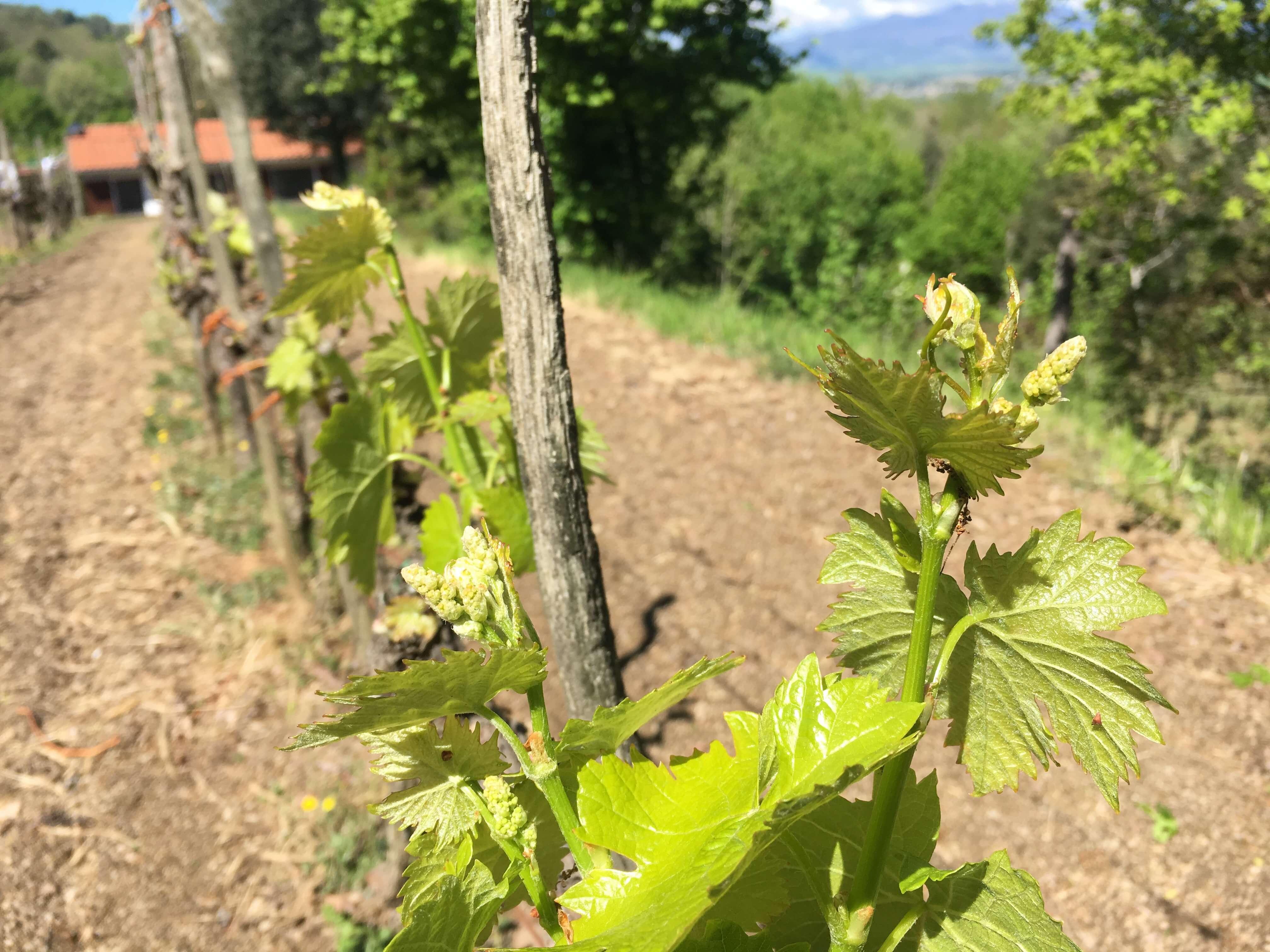 vinranker-vindruene-vingården
