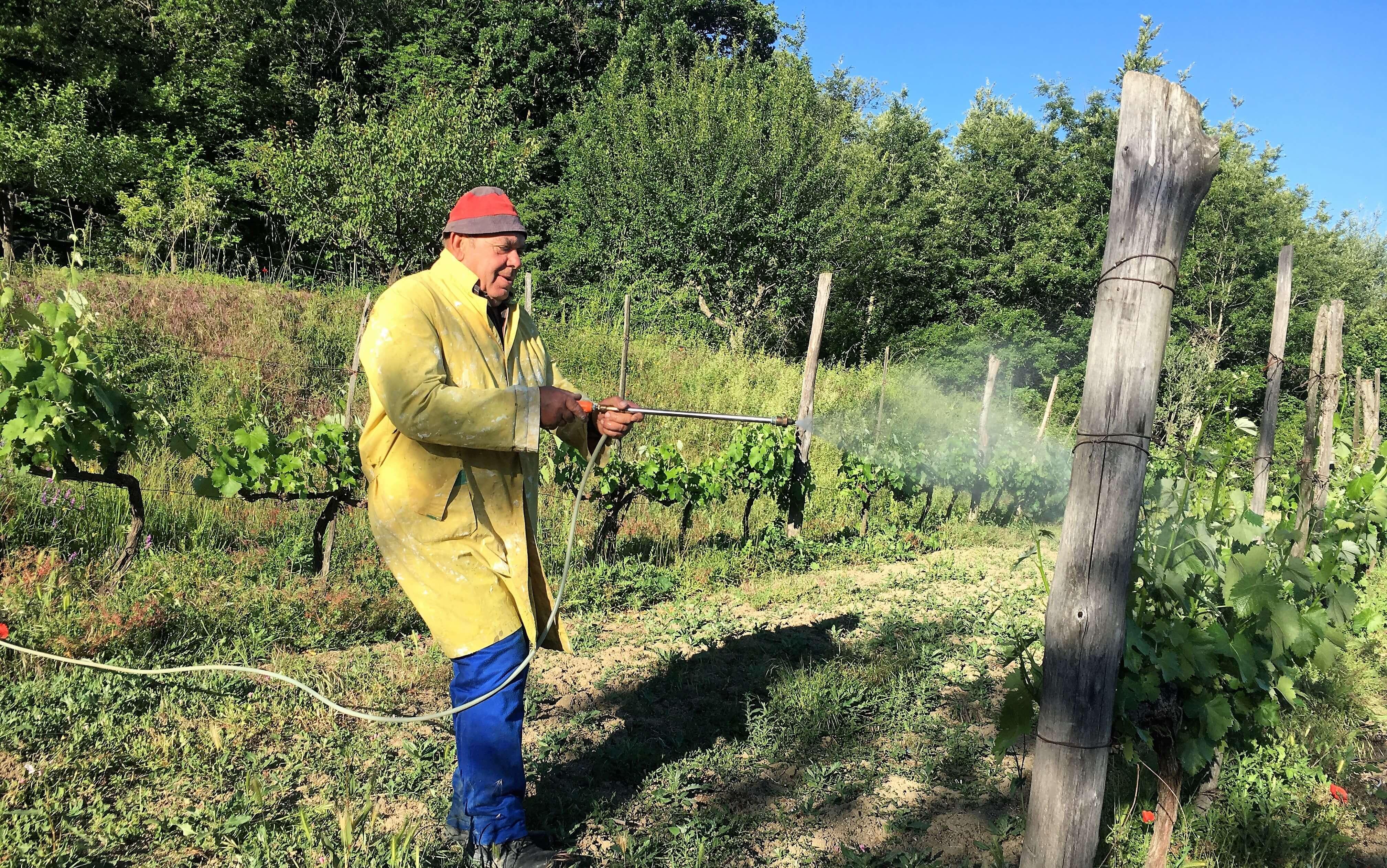 druer-sprøytes-vingård