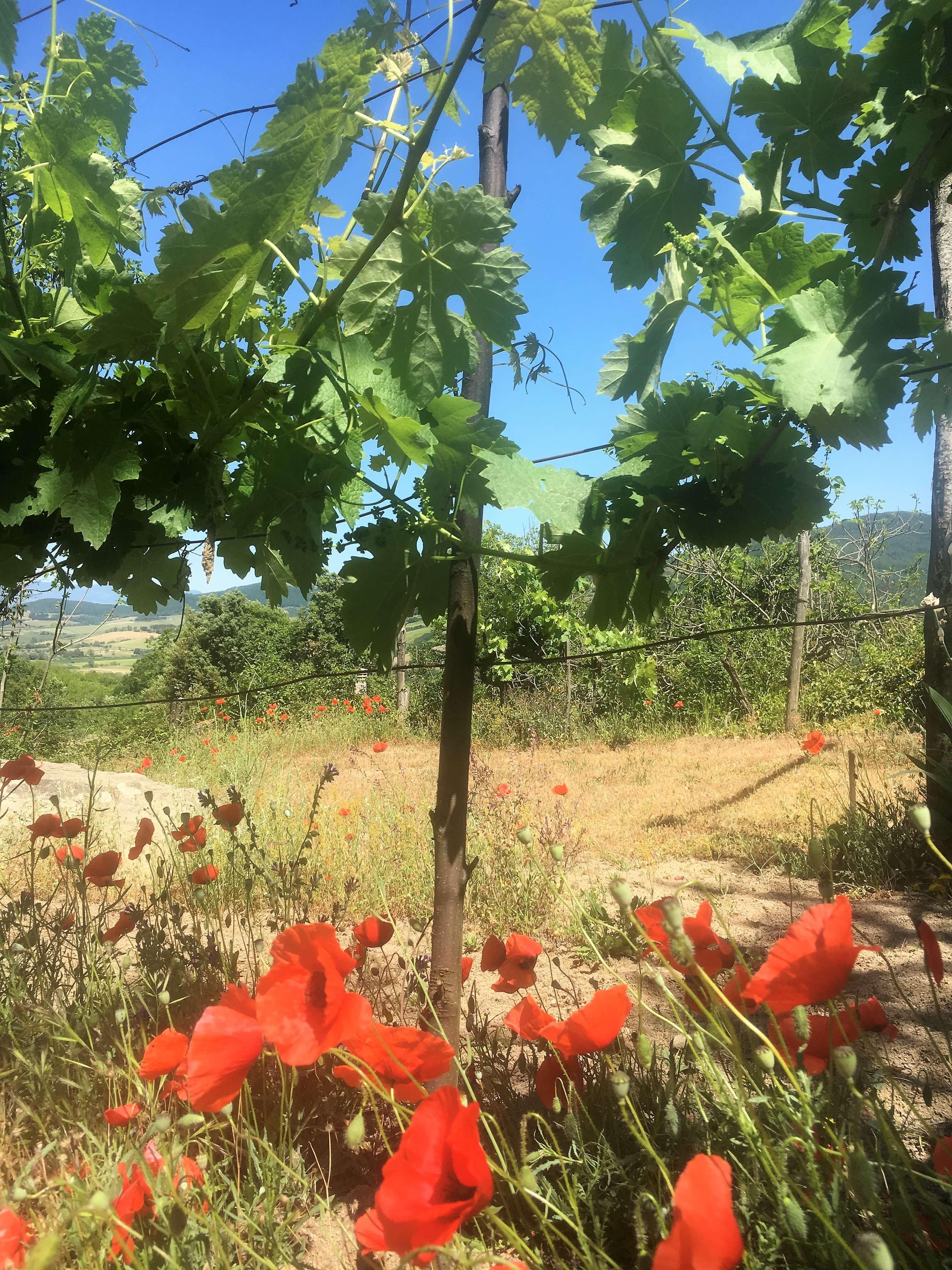 vingård-italia