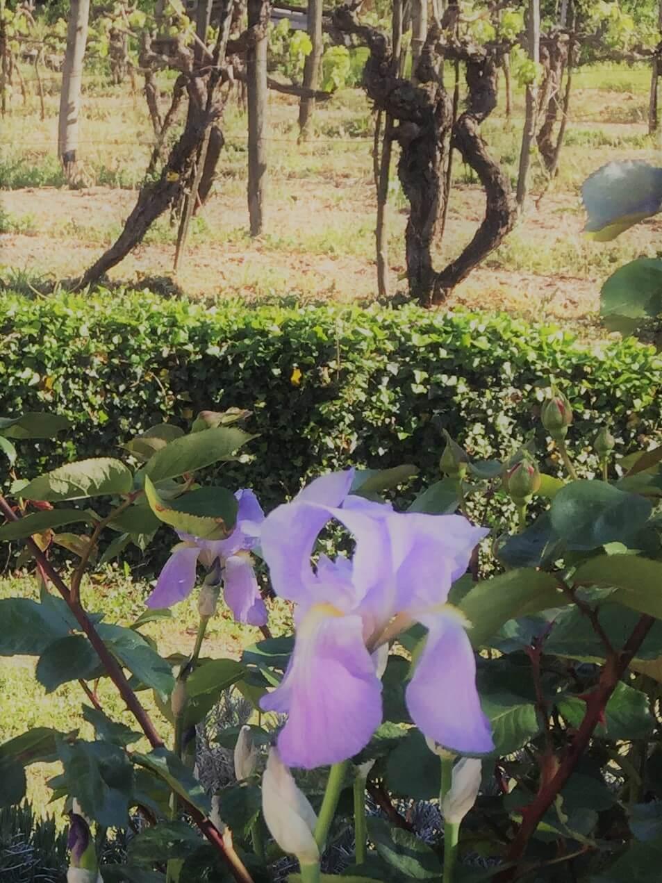 I mai står iris i blomst på vingården. Den lukter så godt og den er så vakker. For meg har blomsten en stor betydning. Det var navnet jeg ga min førstefødte, min eneste datter, som døde i magen før hun ble født i mai 2006. Hun hadde alvorlig ryggmargsbrokk, som kan forebygges om kvinner tar folsyre før de blir gravide.