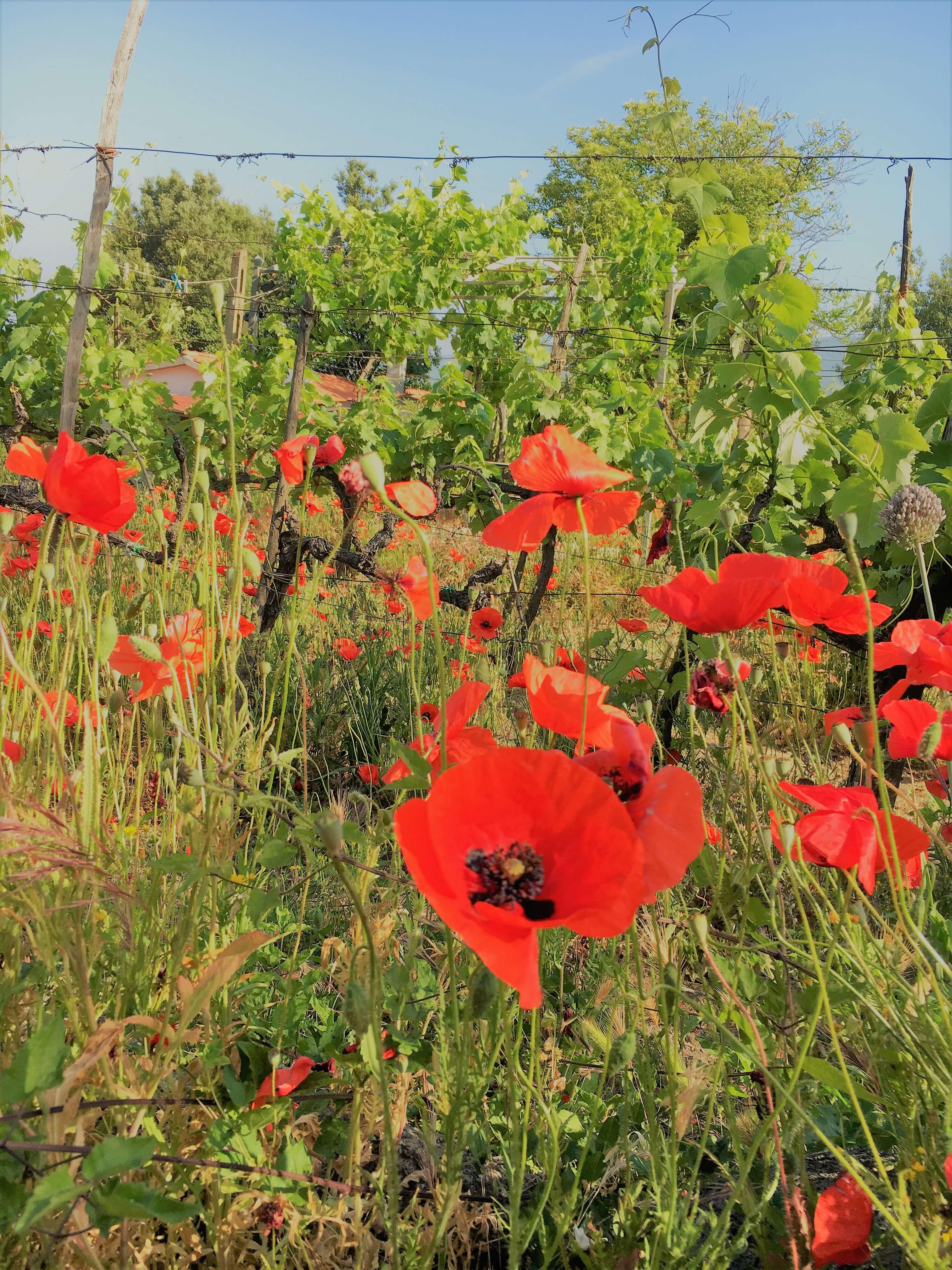 valmuer-vingård-italia
