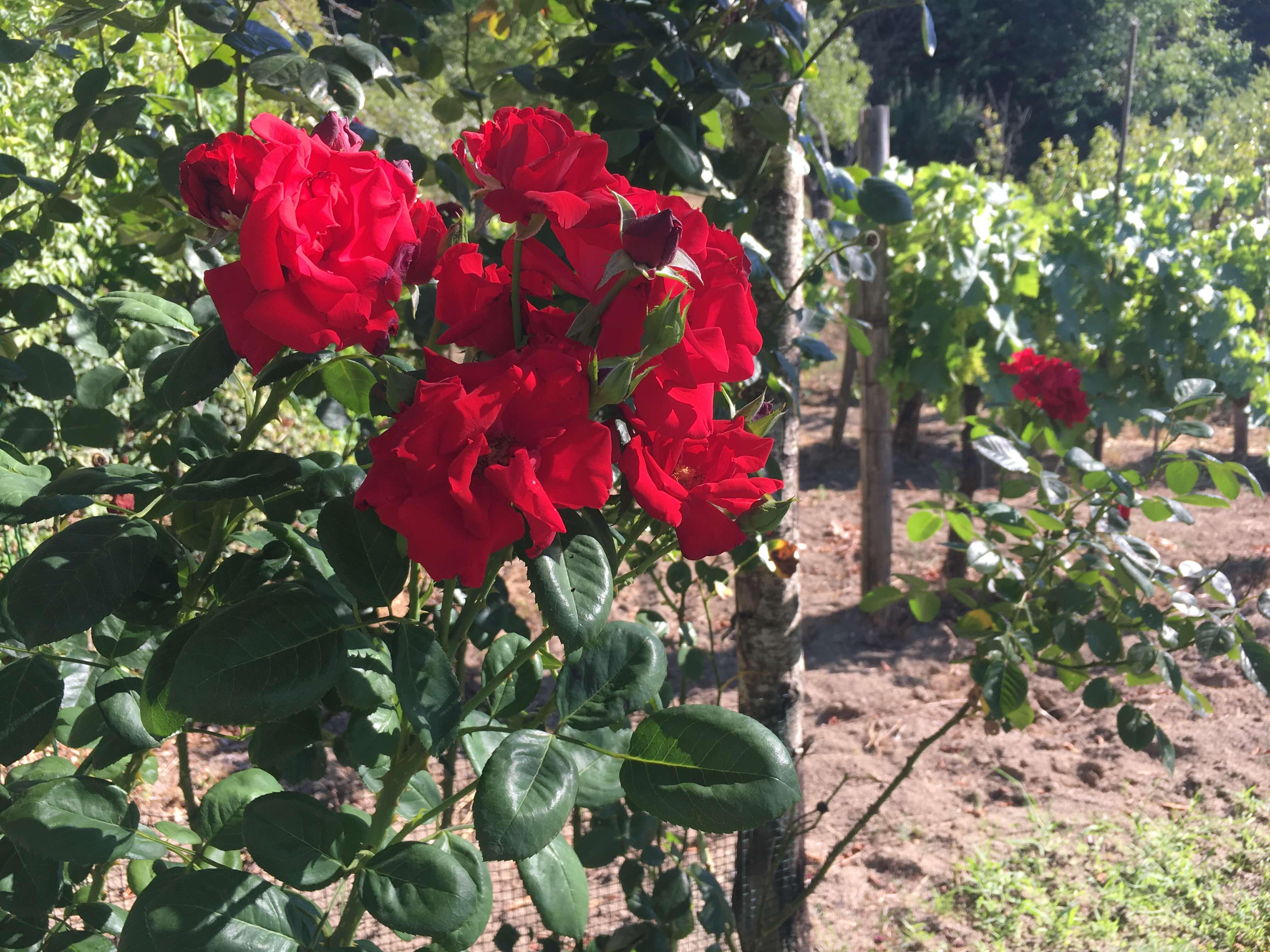 Blomster og vin. 6 vintips til hagen. Bruk sommeren til å lære å kjenne florale aromaer i vin.