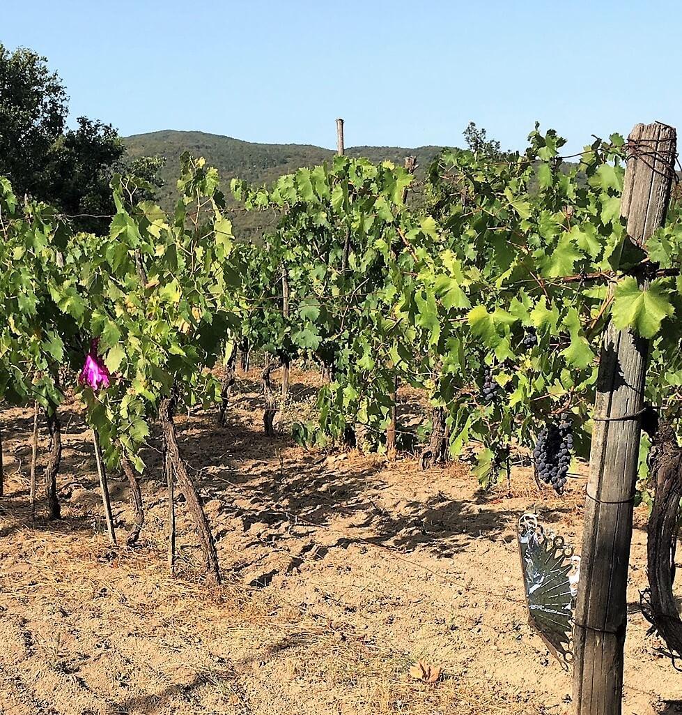 Tørste og sultne villsvin spiser druer på vingården vår i Italia. Her får du se ødeleggelsene. Nå forsøker vi skremme dem bort før innhøsting.