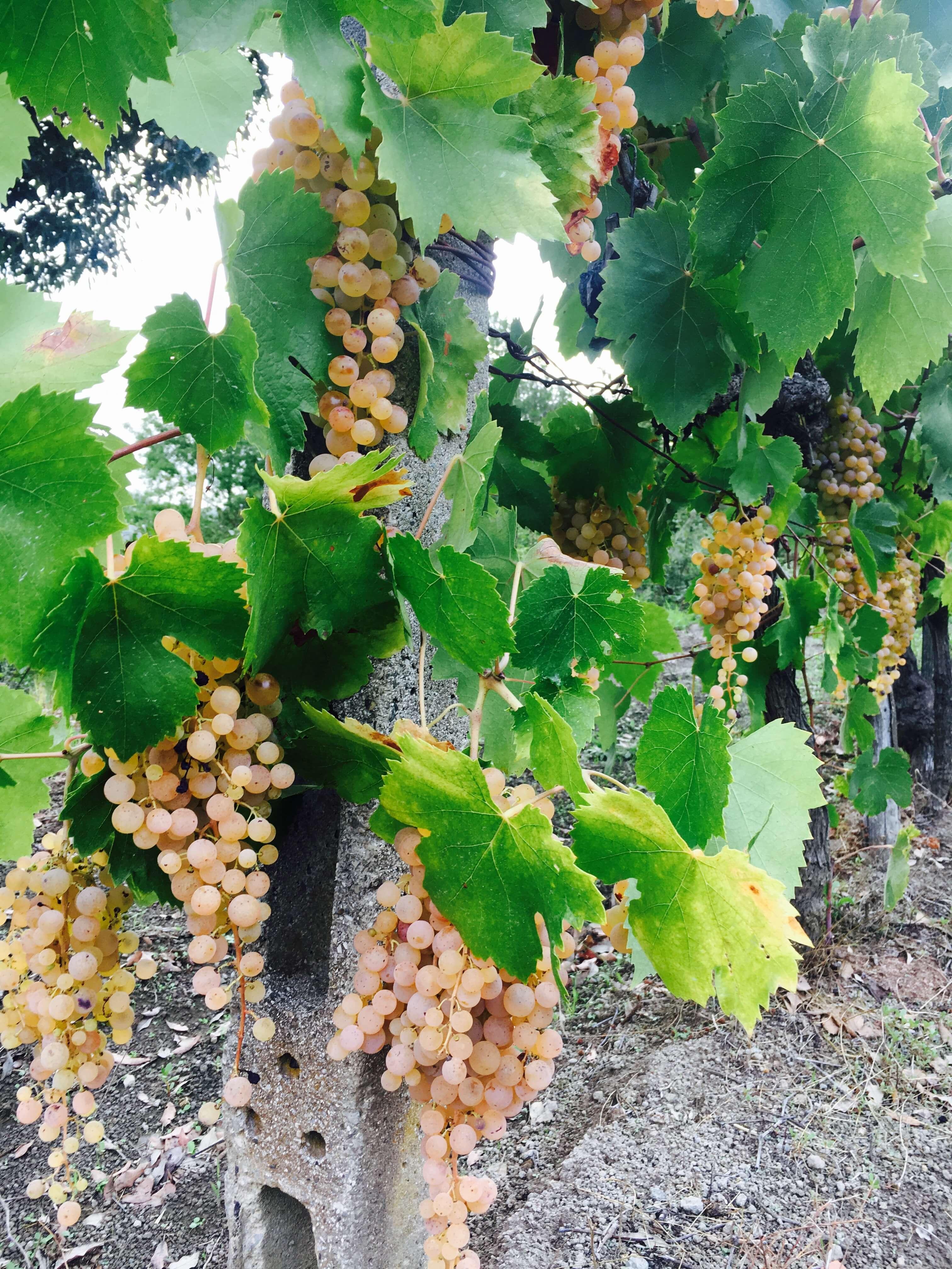 modne druer klare for innhøsting