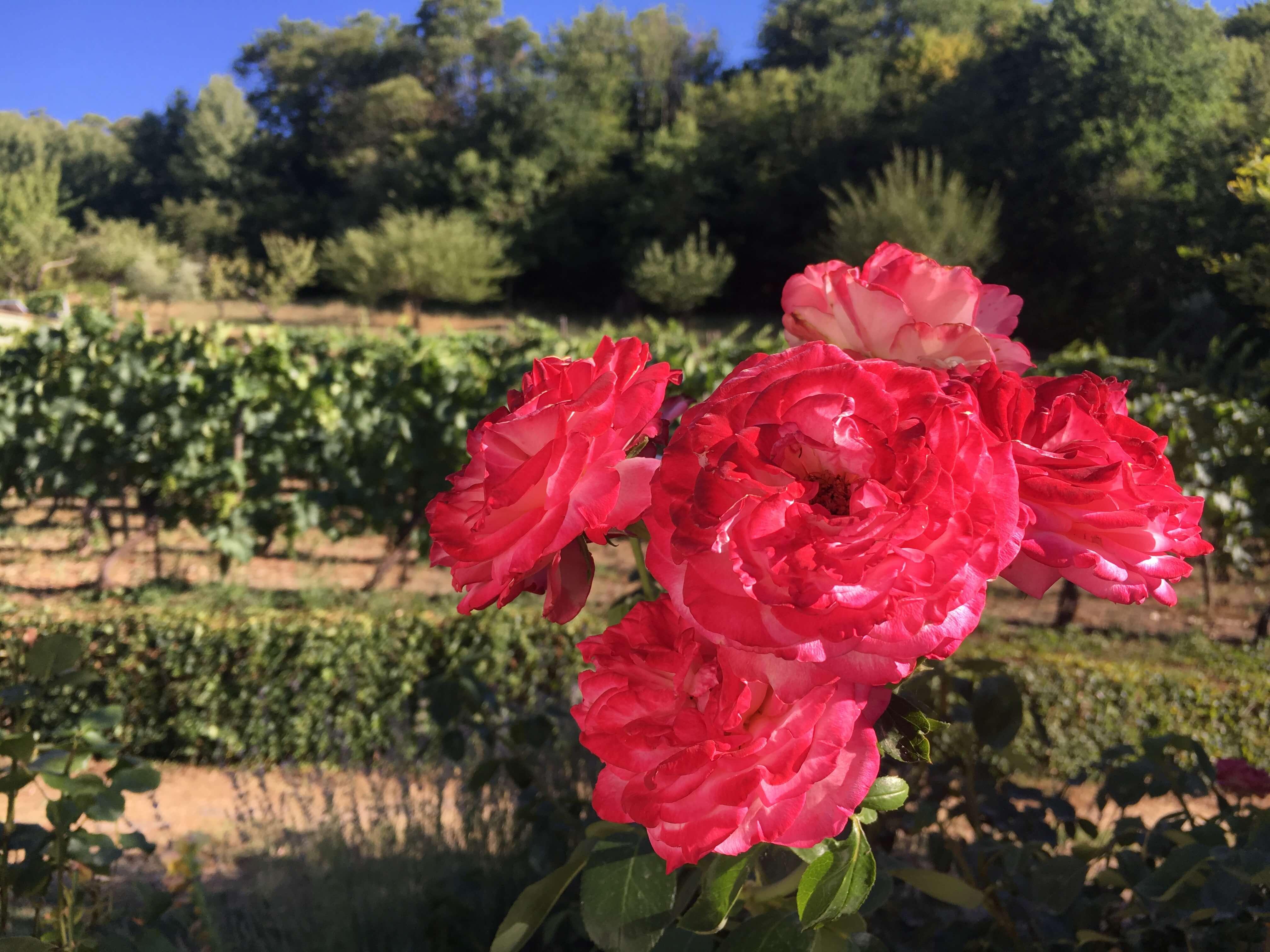 Viner som forlenger sommeren. Roser på vingården vår i Acquapendente i Italia.