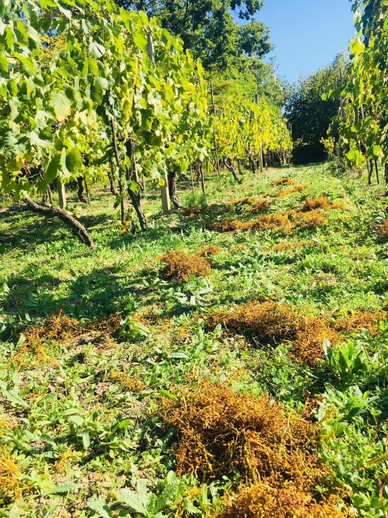 Med et hydrometer, også kalt mostimeter, kan vi måle sukker og alkohol i vin, eller mosten fra druer som gjærer. Det er et viktig instrument i vinproduksjonen. På bildet ser du stilkene fra pressede druer etter innhøsting.