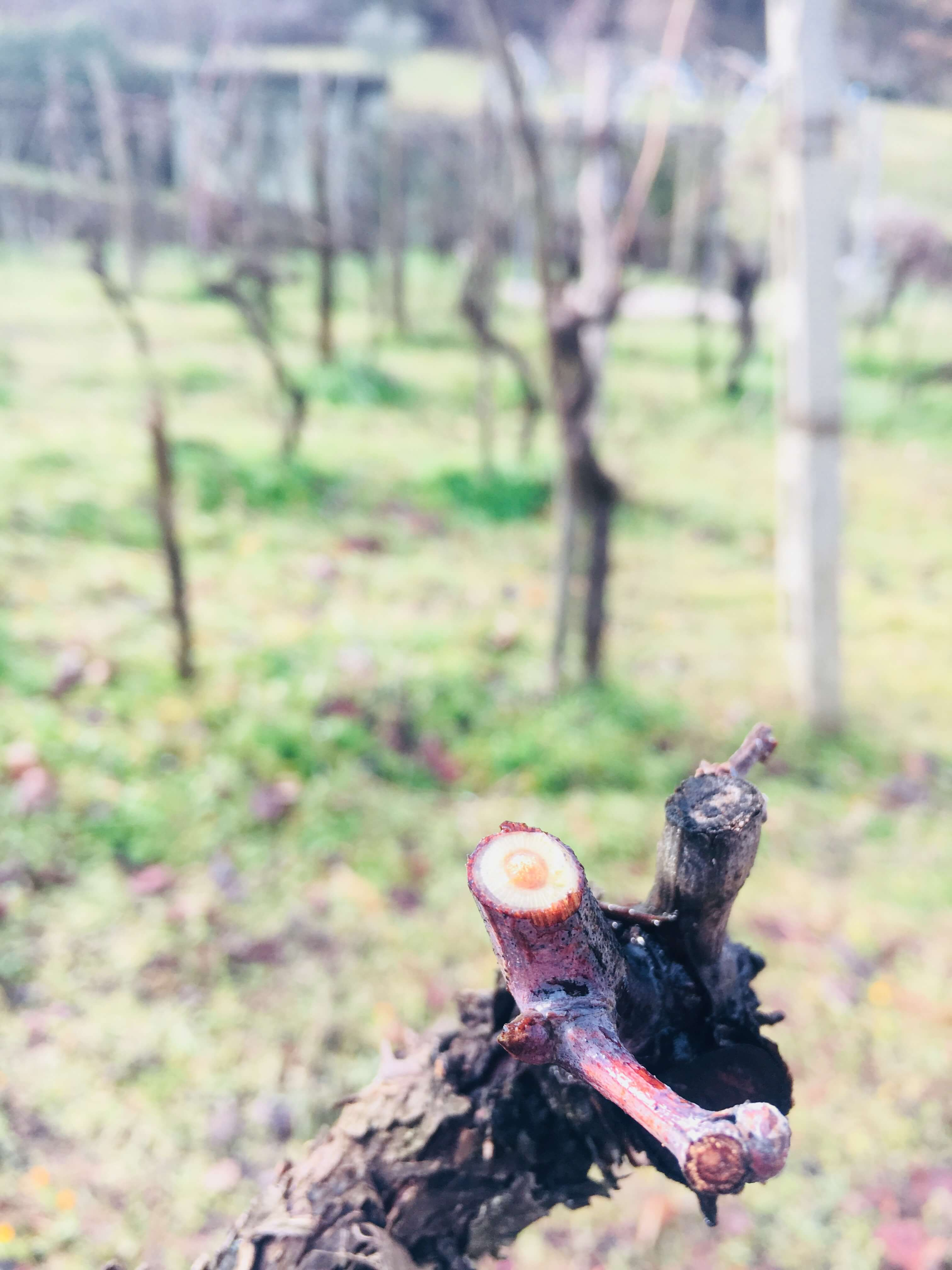 Ett nytt vinår er i gang på vingården i Acquapendente i Italia. Vinstokkene er beskjært, og nye Sangiovese-planter er innkjøpt. 2018-årgangen og vingården er offisielt åpnet. De første vårtegnene er her. Nå håper vi sola varmer og sevja stiger.