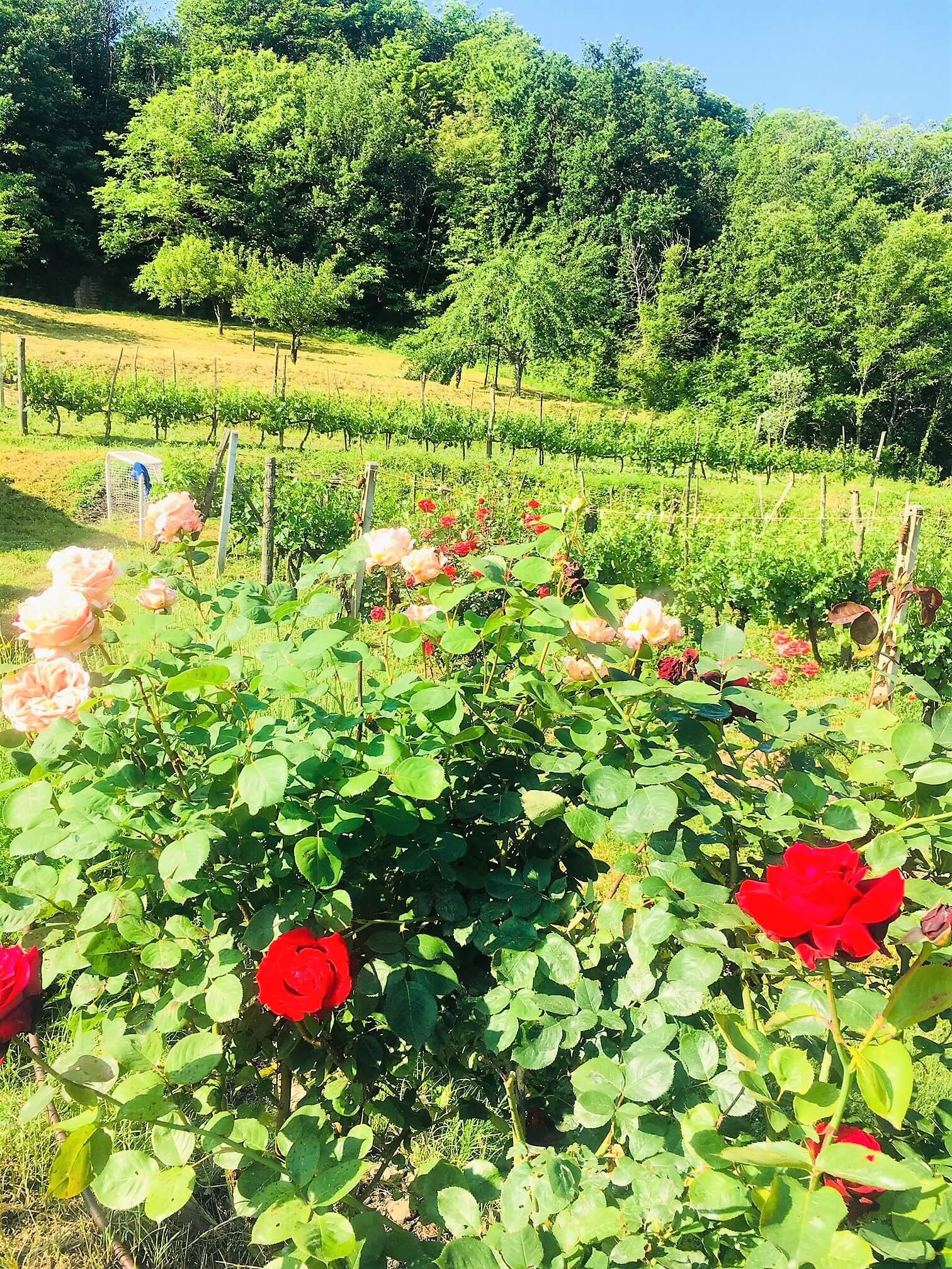 Det har regnet mye og ofte her på vingården i Italia de siste ukene. I år ser det ut at det er for mye vann for druene og vinstokkene - i kontrast til fjorårets sesong som var alt for tørr og varm. Det er bare å sette i gang med tiltak mot råte, sopp og sykdommer.