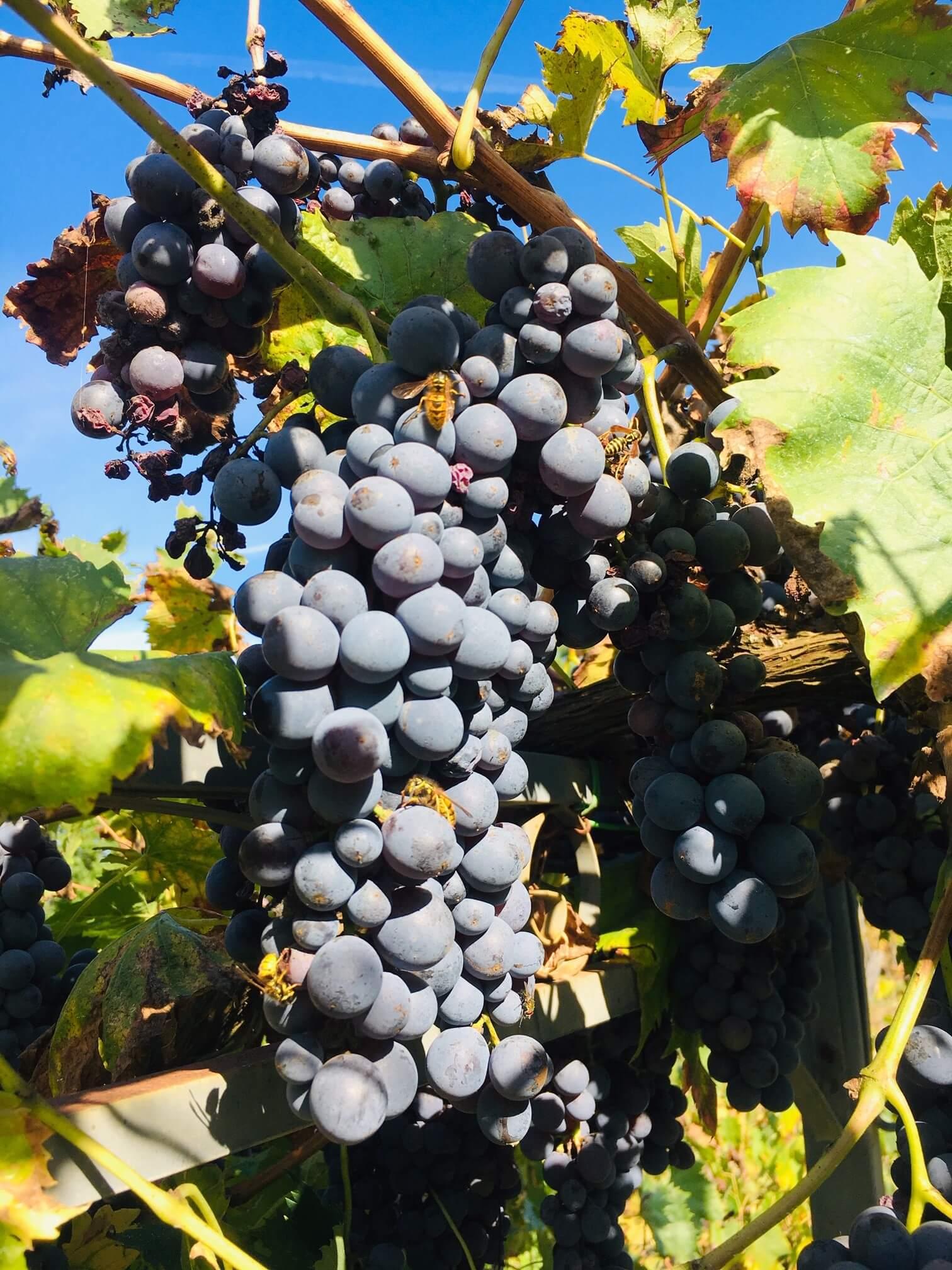 Har du hørt, luktet eller sett druer som gjærer? Vi har nå druemost som kan gi 1300 liter vin i vinkjelleren på vingården i Italia. Der er alltid like spennende - om fermenteringen kommer i gang. For druene må som kjent gjære for at den skal bli til vin. I innlegget får du se det koke - små og store bobler bruser.