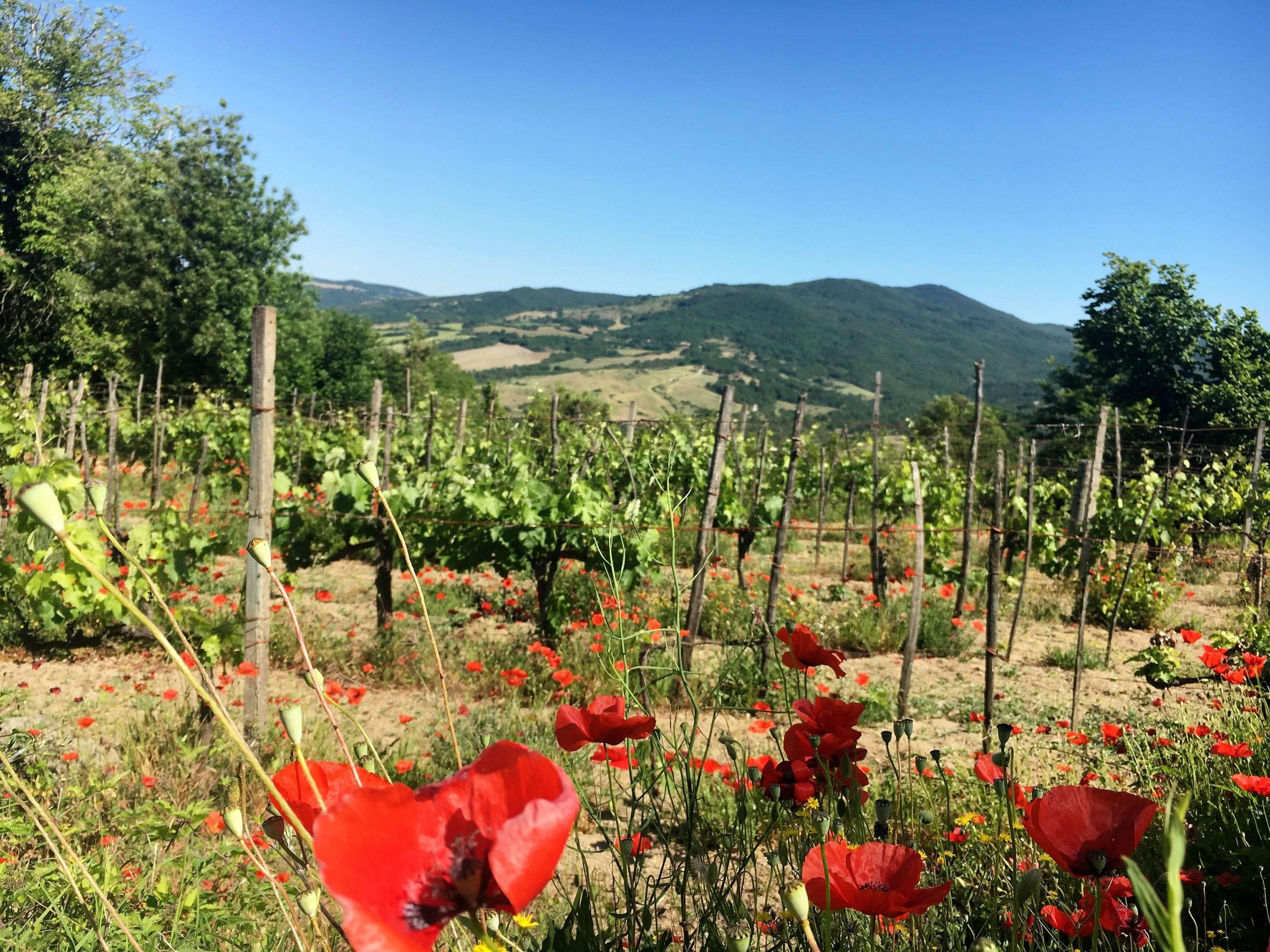 Kritisk for årets druer på vingården