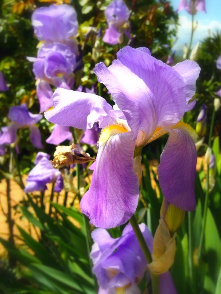 Iris i blomst på vingården