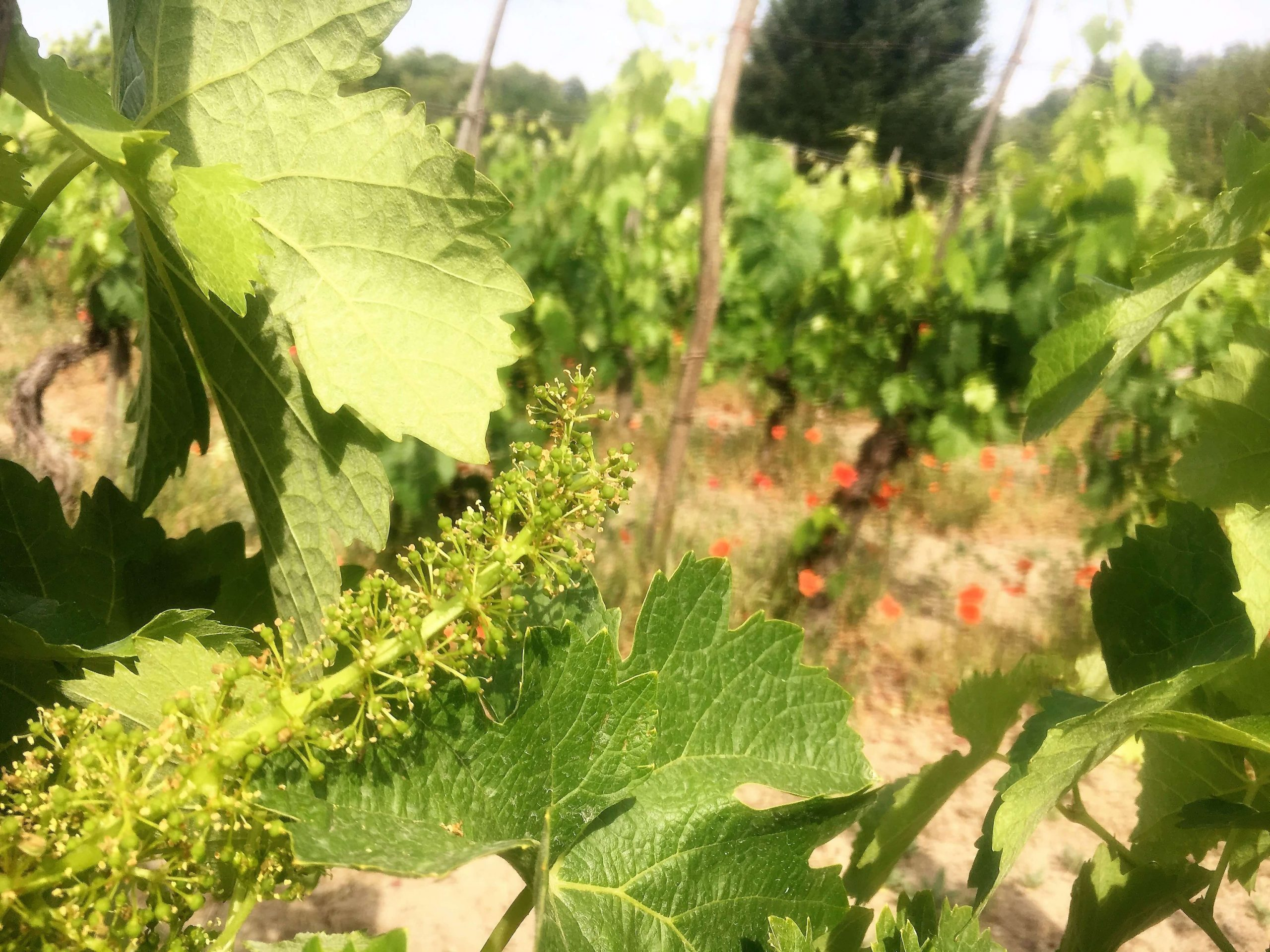 Grape flowers – magical pollination
