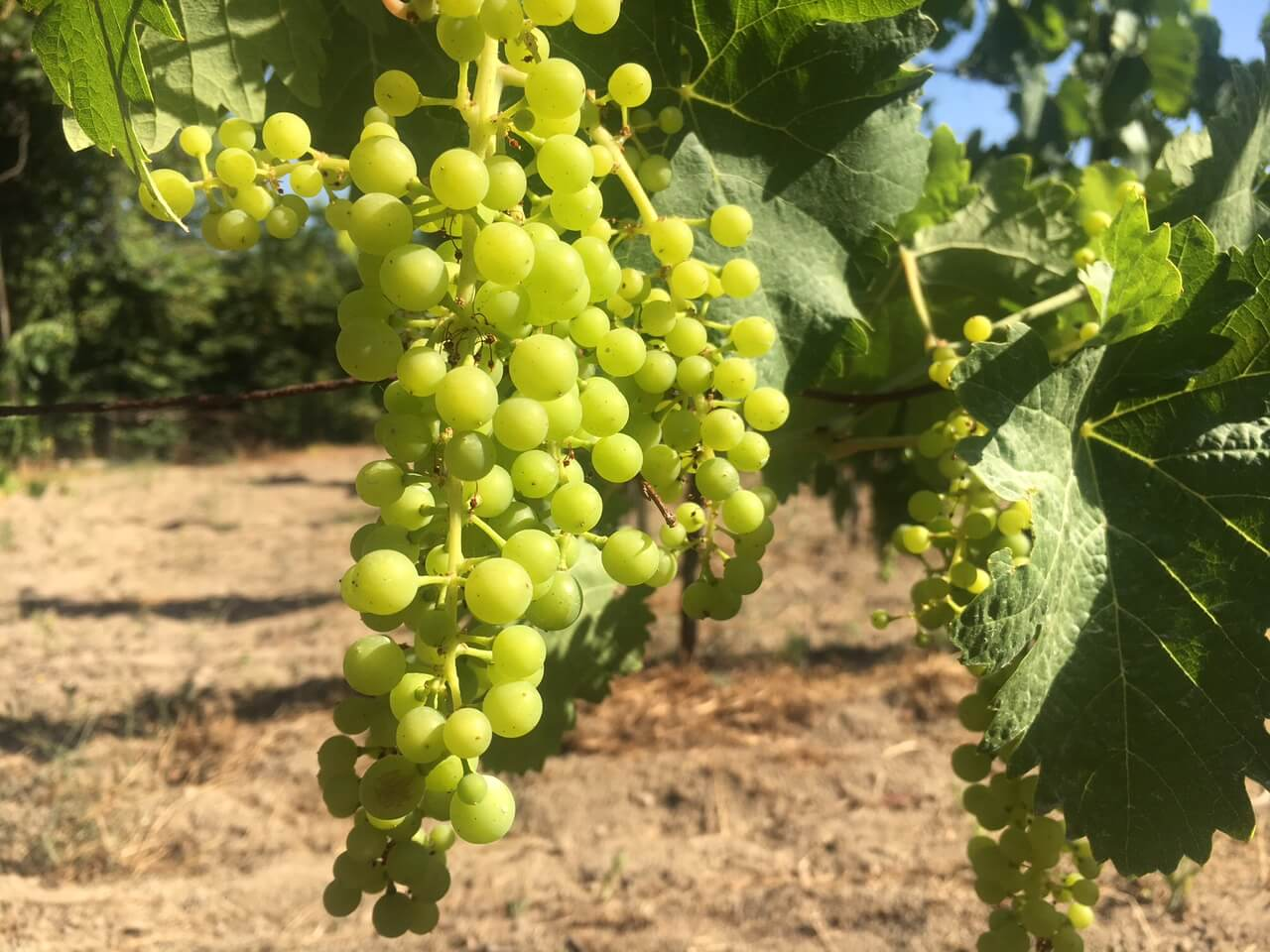 Struttende drueklaser på vingården