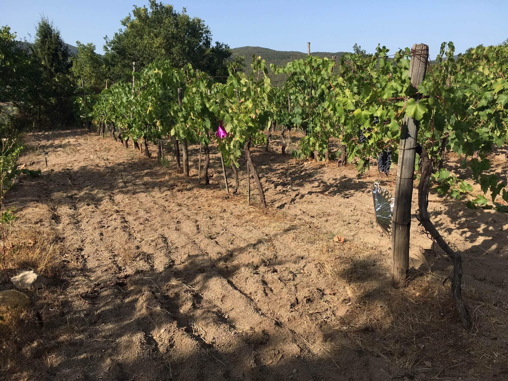 Villsvin spiser druer på vingården