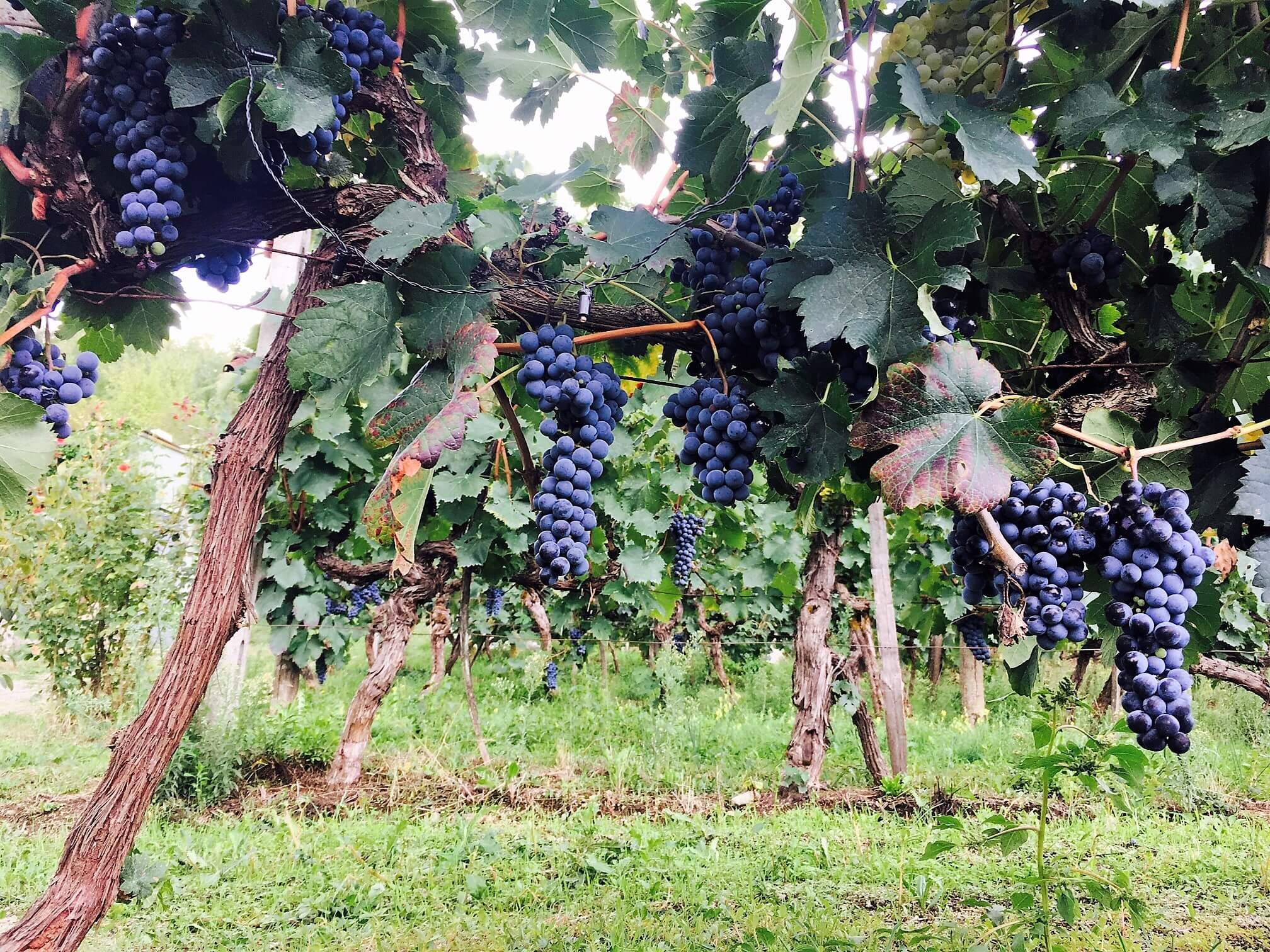 Modne druer klare for innhøsting – men ikke jeg!