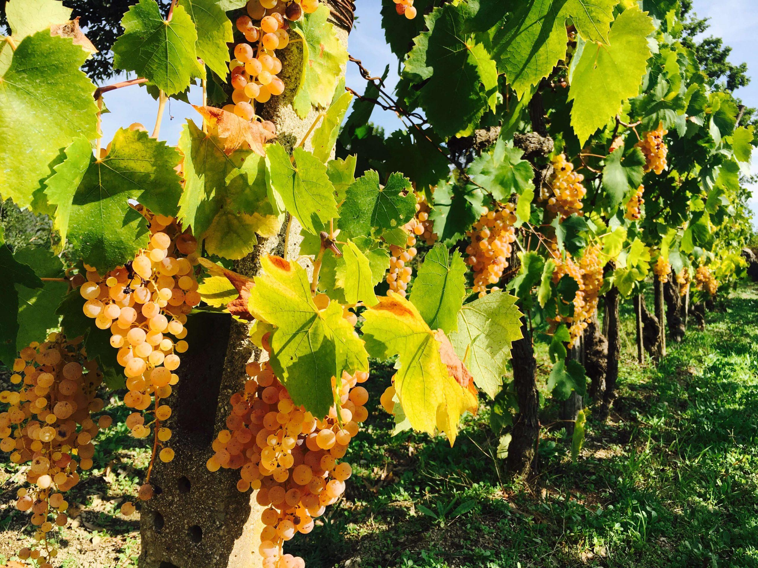 Vi forbereder innhøsting av druer