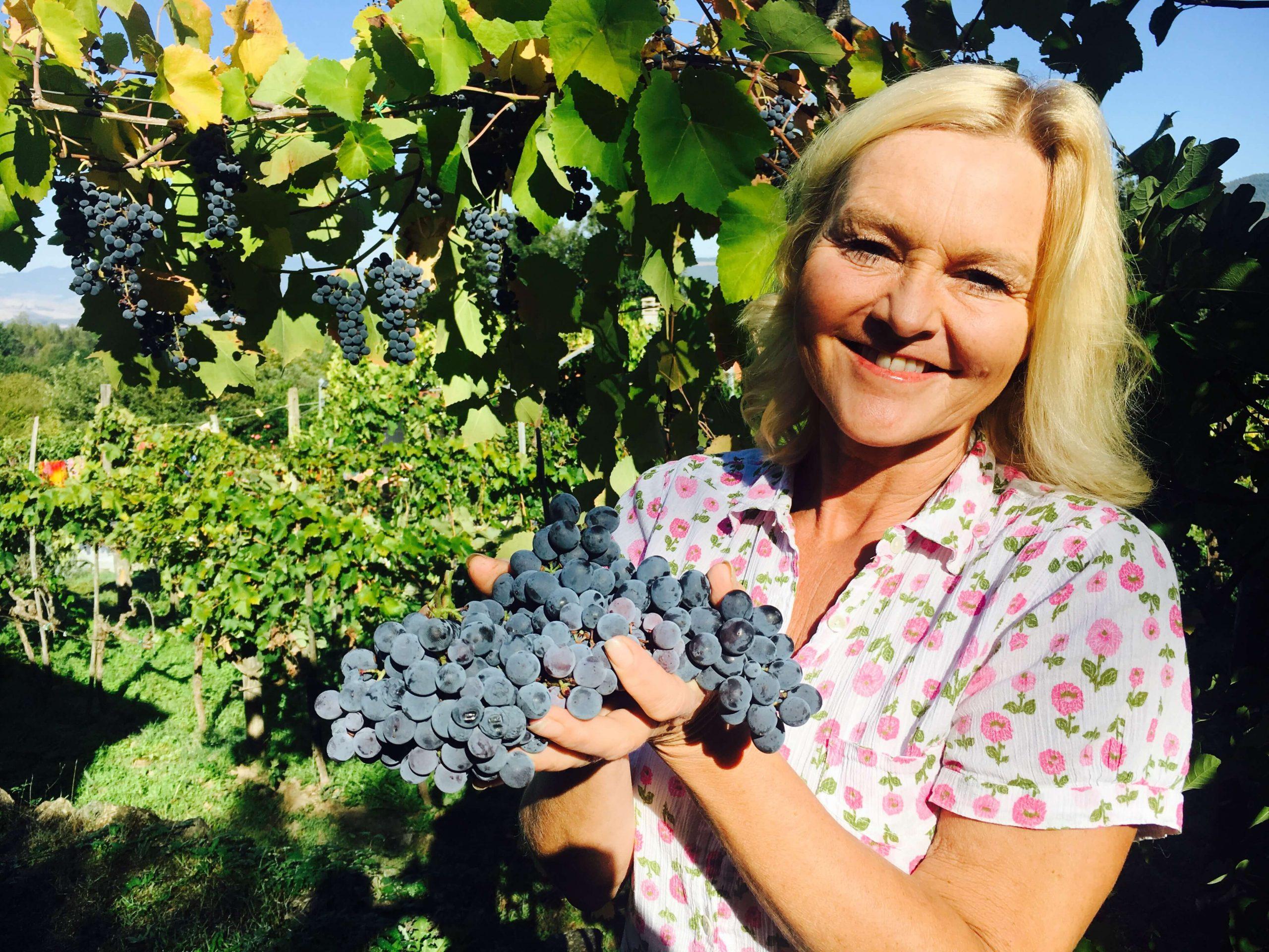 Innhøsting av druer 2017 – en emosjonell karusell