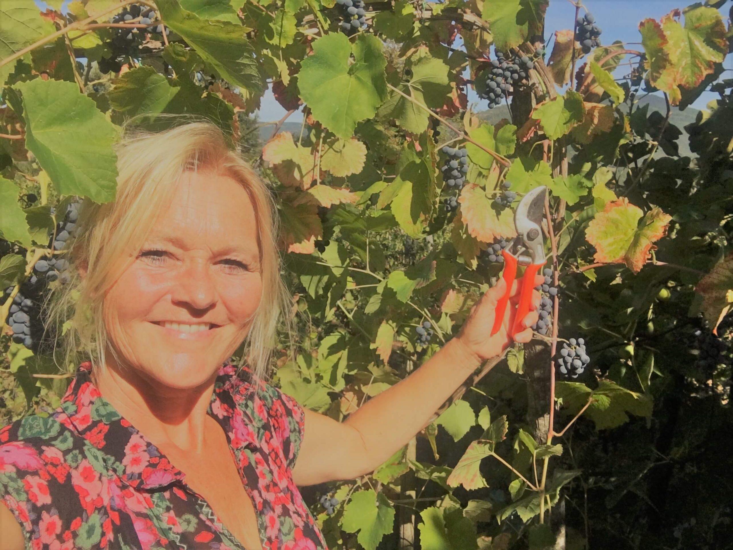 Klippe bort druer før innhøsting