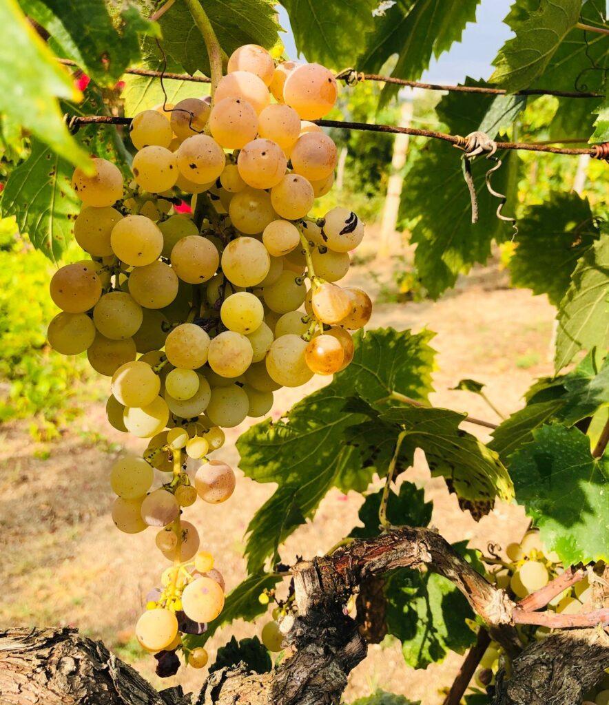 Du har ett glass vin - og vet at det inneholder antioksidanter. Men hvor mange druer er det i ett glass vin, og er noen sunnere enn andre?