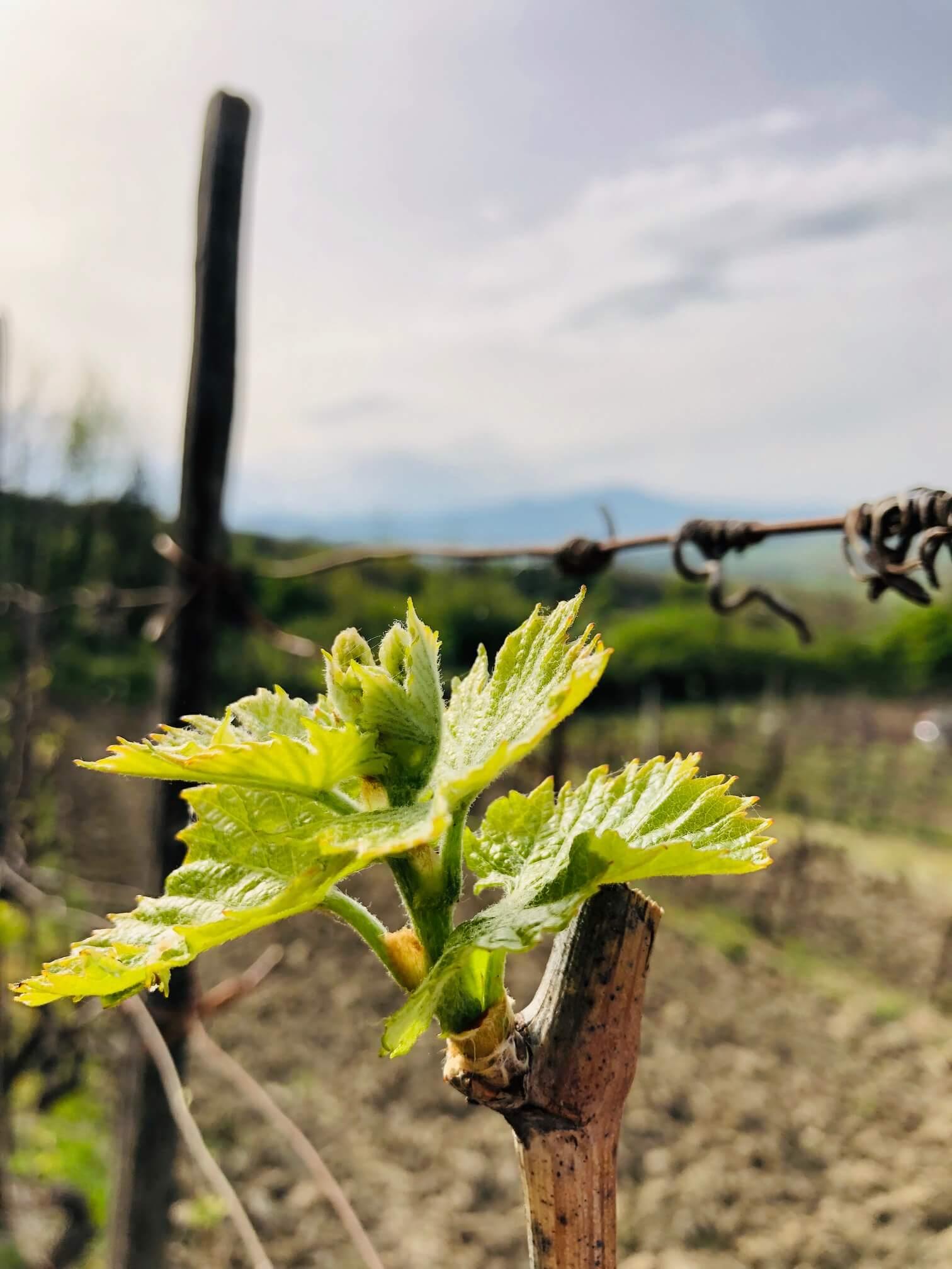 Økologisk vin øker – hva velger vi?
