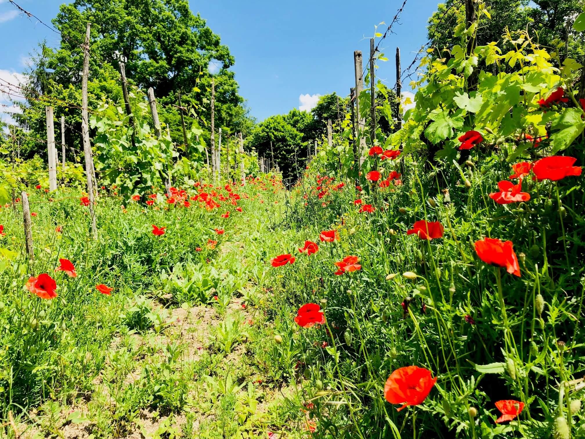 Sjelden, om noen gang har vi sett vakrere druer som vinhøsten 2019 på vingården i Lazio i Italia. Forventningene til druene som nå er høstet er høye, for god kvalitet på druene er essensielt for å lage god vin.