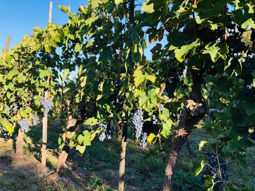 Vegansk vin. Det er en av de nye merkeordningene på Vinmonopolet. Hva betyr det, og bør vi bry oss? Mer om tema her og forslag til ti veganske viner.